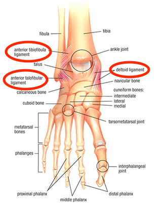 Ankle anatomy showing ligaments commonly involved in ankle sprains